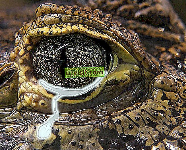 Krokodillid pisarad