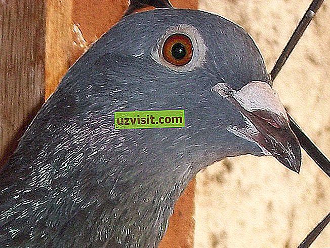 Пола голуб - популарни изрази
