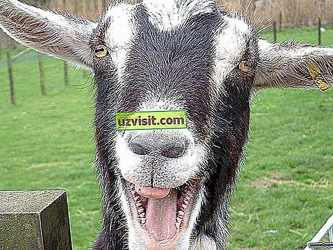 Morová koza
