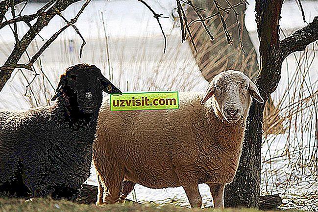 Musta lammas
