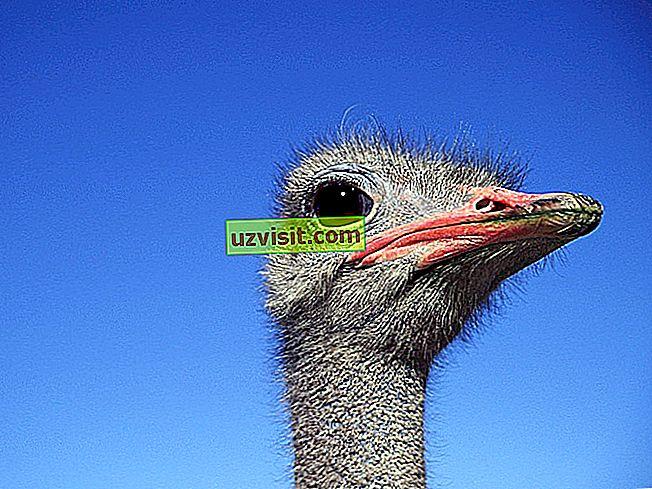 ungkapan yang popular - Perut burung unta