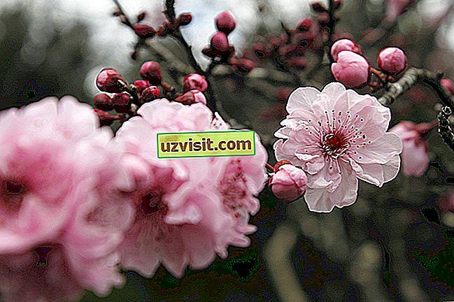 umum - Cherry Blossom
