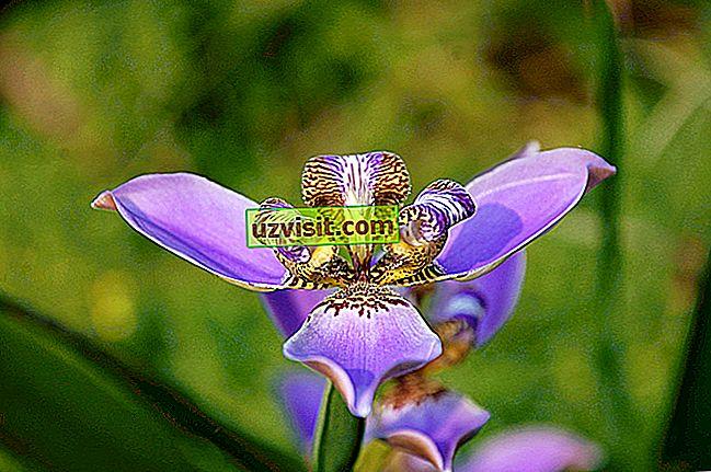 Lis çiçek