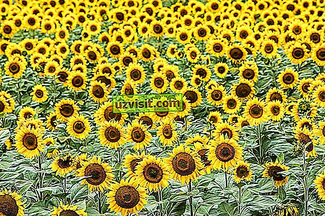 Význam slnečnicového kvetu