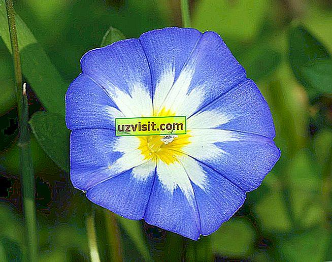 Fleur de myosotis