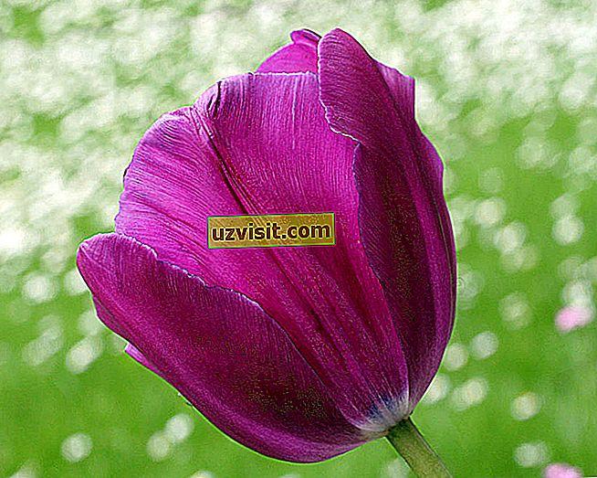 Violetti tulppaani