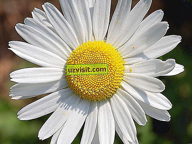 umum - Daisy Flower