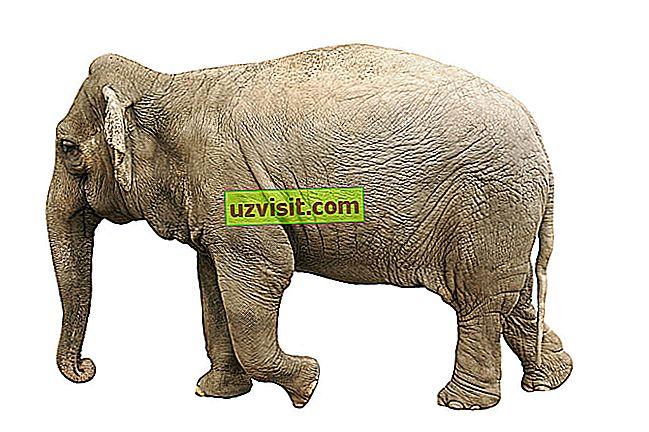Beli slon