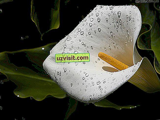 splošno: Cvetica Calla Lily